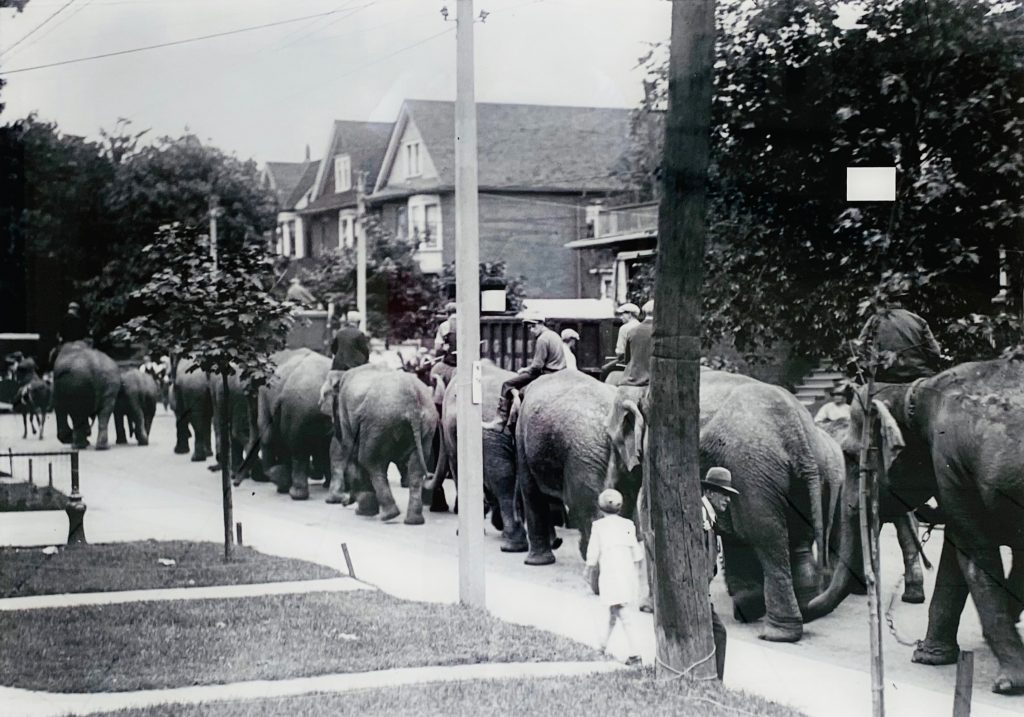 Undated photo - Circus elephants walking from the rail depot at Lansdowne Ave & Bloor St W to the Dufferin Park Racetrack