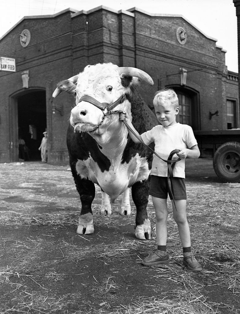 1950's - Boy with a hereford bull in front of the Swine Pavilion at the Canadian National Exhibition